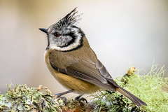 Crested Tit (lee adcock) Tags: abernethyforest lochgarten tamron150600 bird birds crestedtit nature nikond7200 rspb scotland
