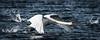 water start (MAICN) Tags: 2018 nature fluss river winter swan vogel water ruhr bird wasser abheben schwan natur takeoff