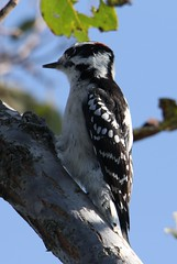 Downy Woodpecker (Picoides pubescens) 09-25-2017 Deal Island WMA--Riley Roberts Road, Somerset Co. MD 3 (Birder20714) Tags: birds maryland woodpeckers picidae picoides pubescens