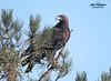 Aguila real/Golden Eagle (ANA MINGUEZ CORELLA) Tags: golden eagle aguila real madrid digiscoping rapaces wildlife