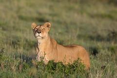 Don't come any closer (Ring a Ding Ding) Tags: 2018 africa ascilia bigcat canon300mmf28 lion namiri pantheraleo serengeti tanzania bokeh cat lioness nature predator safari watching wildcat wildlife shinyangaregion flickrbigcats