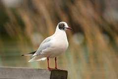 Larry the Gull (Barry Miller _ Bazz) Tags: nature widnes victoriapark wildlife bird seagull gull