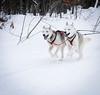 Musher Mitts.jpg (Darren Berg) Tags: dogsledding winter cold snow harness husky run happy trail pulling pull blueeyes bayfield wisconsin wolfsong