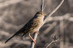 Winter Golden Crowned Sparrow (MelRoseJ) Tags: sanrafael california unitedstates us nature northerncalifornia a77ii alpha autofocus sony sonyilca77m2 sal70200g birds bayarea goldencrownedsparrow sparrow