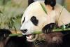 giant panda Ouwehands BB2A1081 (j.a.kok) Tags: panda grotepanda giantpanda bamboebeer bamboobear beer bear china asia azie animal ouwehands mammal zoogdier dier