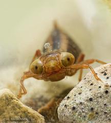Darner dragonfly nymph (ML Rasmussen) Tags: aquaticinsect freshwatermacro dragonflynymph darnerdragonfly dragonfly underwatermacro