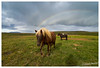 Icelandic horse, Iceland (Bigmob Dontwannastop) Tags: horse animal grass lawn plain cloudy rainbow colorful