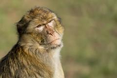 Magot (flutalute) Tags: macaque singe monkey magot barbarie sauvage agile portrait