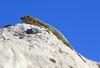 Lagarto (Mik Chile) Tags: lagarto reptil norte chile nortechileno calama canon 5d mark ii