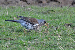 This not so early Fieldfare still catches the worm. (E P Rogers) Tags: thrush bird earthworm tuduspilaris