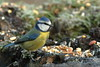 Blue tit (david.england18) Tags: bluetit smallbirds various tits blue great coal canon7dmkll birdsuk canonef300mmf4lisusm queensparkheywood