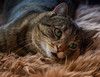 There are days when it's best to stay in bed (FocusPocus Photography) Tags: sethi katze kater cat chat gato tier animal haustier pet tabby müde tired sleepy
