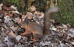Red Squirrel (Clare_leeloo) Tags: redsquirrel squirrel nature wildlife mammals