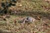 Lawn Aeration Service (John H Bowman) Tags: virginia chesterfieldcounty home animals smallanimals squirrels january2018 january 2018 canon1004004556l2