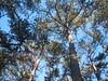 DSC_9009 Schirmföhren oberm Weilburgplatz, 26.12.15 (MQ73) Tags: weilburgplatz baden badenbeiwien badennearvienna austria loweraustria niederösterreich österreich historical historisch kindheit schirmföhre schwarzkiefer timber log wood fores viennawoods wienerwald trees baum bäume stamm stämme