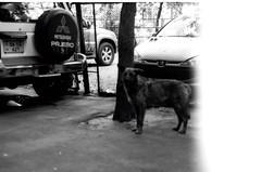 չֆոկուսոտ շունիկ։ ամառ թէ աշուն 2013։ (նորայր չիլինգարեան) Tags: canoscan9000fmarkii kodakcft mamiyaze2 mamiyasekore50mm17 բակ ժապաւէն լուսանկարներ շուն