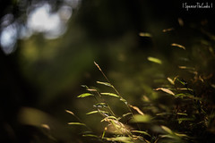 It Grows (SpencerTheCookePhotography) Tags: plant grass dof depthoffield bokeh nature outdoors green gold