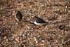 DSC_7428 (Peter-Williams) Tags: brighton sussex uk beach pier birds turnstones
