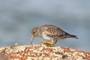Purple Sandpiper (blootoonloon1( No to Badger Cull)) Tags: bird northsea scotland aberdeenshire peterhead animal wildlife nature purplesandpiper rocks colours