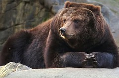 Seine Majestät/ His Majesty (babsbaron) Tags: nature tiere animals raubtiere wildtiere säugetiere bär bären bears braunbär lüneburg lüneburgerheide wildpark kamschatkabär siberianbrownbear sibirischer