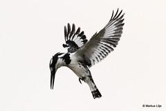Pied Kingfisher (markus lilje) Tags: markuslilje bird birds birding southafrica piedkingfisher kingfisher flight fly flying cerylerudis