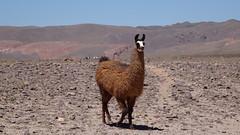 214 Lama, Yerbas Buenas (roving_spirits) Tags: chile atacama atacamawüste atacamadesert desiertodeatacama désertcôtier küstenwüste desiertocostero coastaldesert