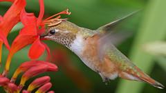 Hummingbird (photosauraus rex) Tags: bird hummingbird rufoushummingbird vancouver bc canada