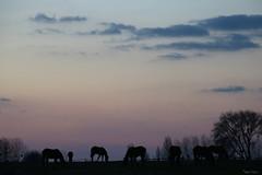 Crépuscule (martine_ferron) Tags: chevaux crépuscule ciel nuage soir