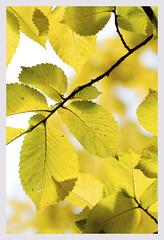 Under golden light ( explored) (Greenstone Girl) Tags: goldenelm pirandagardens dandenongranges victoria green tree light
