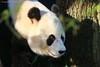 Xing Ya ♂ (Noodles Photo) Tags: xingya wuwen riesenpanda giantpanda pandasia ouwehandszoo rhenenouwehandszoo ailuropodamelanoleuca pandabear pandabär ursidae bambusbär prankenbär dàxióngmāo xióngmāo grosebärenkatze bärenkatze 熊猫 provinzutrecht niederlande netherlands nl rhenen