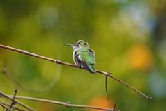 Anna's hummingbird (Calypte anna) (Team Kweeper) Tags: bird backyard wildlife california californianative animal perching perch green
