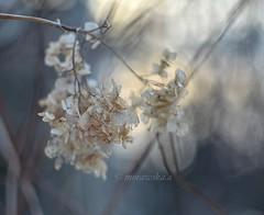 Hydrangea and winter light. (agnieszka.a.morawska) Tags: helios44m helios manualfocus manuallens macro bkhq beyondbokeh bokehlicious bokeh winter flower hydrangea