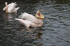 Magdeburger Zoo (Helmut44) Tags: deutschland germany sachsenanhalt magdeburg zoo pelikan fisch fütterung wasser teich pond water animal tierwelt