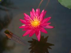 บัวลูกผสมข้ามสกุลย่อยสัญชาติไทย 'ดิโก้ กอลลิ' Nymphaea 'Diego Galli' HxT (ISG) Waterlily Thailand 3 (Klong15 Waterlily) Tags: wahgarden thailandwaterlily pond pondplant diego galli diegogalli diegogalliwaterlily nymphaea gardener lotus flower lotusflower hxtwaterlily intersubgenericwaterlily isgwaterlily บัว บัวลูกผสมข้ามสกุลย่อย ดอกบัว ไม้ดอกไม้ประดับ landscape landscapes ดอกบัวสวยงาม