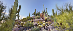 Sonoran Desert Flora (William L Giles) Tags: arizona tucson sonorandesert cactus saguaro