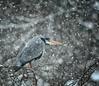 Winter Heron (photosbymartin) Tags: heron winter snow birds wildlife wildbirds wild wings nikon nature natural nikkor ngc ardea cinerea npc