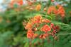 DSC01079.jpg (Kuruman) Tags: malaysia putrajaya flower マレーシア mys
