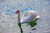 Cygne de douceur. (Diegojack) Tags: morges vaud suisse paisible oiseaux douceur cygnes amitié reflets coth5
