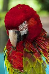 Scarlet Macaw (Mohamad Zaidi Photography) Tags: potrait scarletmacaw macaw parrot aramacao bird tame zoo malaysia malaysianphotographer mohamadzaidiphotography closeup sony a7riii sonymalaysia sonyjapan sonya7r3