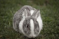 What's up? (oskaybatur) Tags: rabbit tavşan 2018 oskaybatur pentaxk3 türkiye turkey turkei çorlu pentaxart justpentax dof smcpentaxdal55300mmf458ed