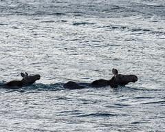 Out for a Swim ((JAndersen)) Tags: moose glacier glaciernationalpark saintmarylake montana usa water wildlife animals nature nikon d7200 nikkor20005000mmf56