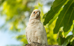 Long-billed Corella (Merrillie) Tags: longbilledcorella nsw woywoy birds wildlife tree animal nature bird corella australia animals fauna parrot newsouthwales jacaranda