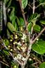 2012-11-04 TEC-4157 Grasshopper foraging on Eugenia winzerlingii flowers - E.P. Mallory (B Mlry) Tags: tec a10 androecium arthropods belize belizedistrict belizezoo ca4 co4 calyx corolla eugeniawinzerlingii fauna flora hexapoda idd insects ostsouth opensavannatrail orthoptera racemose tbz tropicaleducationcenter umbel axillaryinflorescences cauliflorous closeup flower flowerbuds grasshopper habitat herbivoredamage insitu inflorescence matureflowers solitaryflower stem stemcolor tallos tanorgoldenstem whiteflowers woody democracia