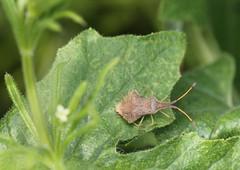 Syromastus rhombeus (Coreidae) (Renko Usami) Tags: coreidae hemiptera syromastus rhombeus insecta arthropoda
