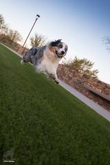 6/52 The Fabulous Flying Aussie (Jasper's Human) Tags: 52weeksfordogs 52wfd zoomies zoom stick fly dog dutchangle aussie australianshepherd