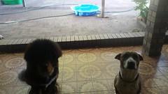 26804363_10214950050451682_3715767270158503555_n (natedetienne) Tags: ash tibetan mastiff puppy tm