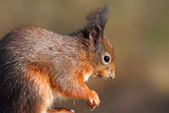 Tufty! (Pog's pix) Tags: redsquirrel winter red squirrel eartufts cute closeup scotland fife mortonlochs tayport wildlife nature detail whiskers eye paws ears face head fur animal outdoors outside tentsmuir tentsmuirnationalnaturereserve sciurusvulgaris sciurus svulgaris rodentia sciuridae