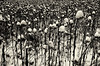 """Va, pensiero, sull'ali dorate"" (helmet13) Tags: leicaxvario flora winter sunflower snow sepia 100faves world100f"