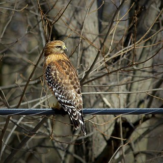 Red- shouldered Hawk  Buteo lineatus