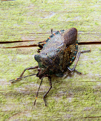 Bronze Shieldbug, Finglandrigg Wood Nature Reserve, 16 February 18 (gillean55) Tags: canon powershot sx60 hs superzoom bridge camera north cumbria finglandrigg wood nature reserve nnr kirkbampton bronze shieldbug troilusluridus